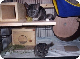 Chinchilla for adoption in Avondale, Louisiana - Mama & Baby Skye