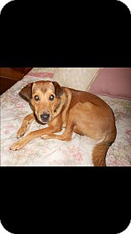 German Shepherd Dog/Treeing Walker Coonhound Mix Dog for adoption in