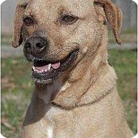 Boxer/Terrier (Unknown Type, Medium) Mix Dog for adoption in Staley, North Carolina - Tawny