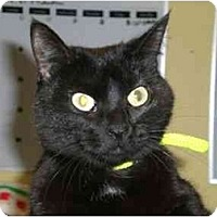 Adopt A Pet :: Midnight - Lombard, IL