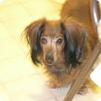 Adopt A Pet :: Lilly Gia - Shawnee Mission, KS