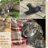 Adopt A Pet :: Lisa-pending adoption - Manchester, CT
