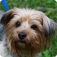 Adopt A Pet :: Gus - ADOPTION IN PROGRESS - Brattleboro, VT
