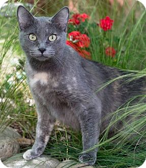 Domestic Shorthair Cat for adoption in North Highlands, California - MamaMichelle