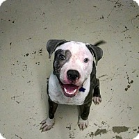 Pit Bull Terrier Dog for adoption in Phoenix, Arizona - Marco