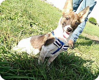 Corgi/Rat Terrier Mix Dog for adoption in Macomb, Illinois - Derby