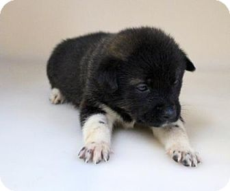 Keeshond Mix Puppy for adoption in Chester Springs, Pennsylvania - Roxy