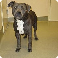 Pit Bull Terrier Mix Dog for adoption in Wildomar, California - Stella