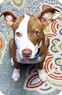 Pit Bull Terrier Mix Dog for adoption in Katy, Texas - MISS MARLEY