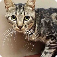 Domestic Shorthair Cat for adoption in Oswego, Illinois - Dorothy