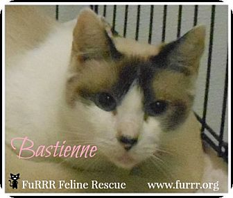 Siamese Cat for adoption in Gonic, New Hampshire - Bastienne