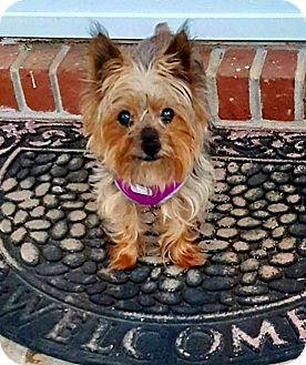 Yorkie, Yorkshire Terrier Dog for adoption in Ashland City, Tennessee - Gunner