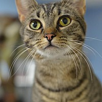 Domestic Shorthair Cat for adoption in Atlanta, Georgia - Roscoe	151508