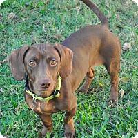 Dachshund Dog for adoption in Dallas, Texas - Chelsea
