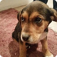 Redtick Coonhound/Cattle Dog Mix Puppy for adoption in Denver, Colorado - Bill