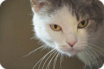 Domestic Shorthair Cat for adoption in Divide, Colorado - Angel