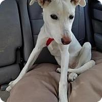 Adopt A Pet :: Sharna - Avon, NY