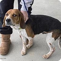 Adopt A Pet :: Phineas - Minneapolis, MN
