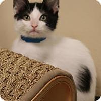 Adopt A Pet :: Ringo - Georgetown, TX
