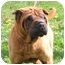 Photo 1 - Shar Pei Dog for adoption in Centerton, Arkansas - Aces