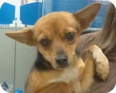Chihuahua/Miniature Pinscher Mix Dog for adoption in geneva, Florida - Nina
