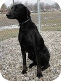 Labrador Retriever Mix Dog for adoption in Lewisville, Indiana - Izzy