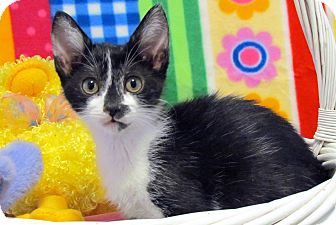 Domestic Shorthair Kitten for adoption in Orlando, Florida - Foxi Moxi