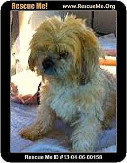 Lhasa Apso/Shih Tzu Mix Dog for adoption in Boulder, Colorado - Larson