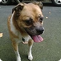 Adopt A Pet :: Snickers - Rockaway, NJ