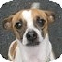 Adopt A Pet :: Jack - Schenectady, NY