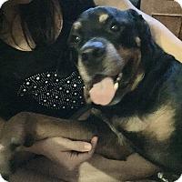 Adopt A Pet :: Brawny - Gilbert, AZ