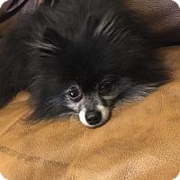 Adopt A Pet :: Diesel - Windermere, FL