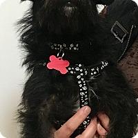 Adopt A Pet :: Rinaldo - Thousand Oaks, CA