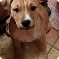 Adopt A Pet :: Chapo-Pending! - Detroit, MI