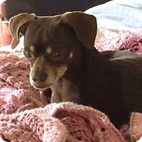 Miniature Pinscher Dog for adoption in Norfolk, Virginia - CHARLIE BROWN