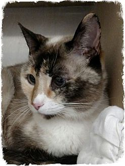 Siamese Cat for adoption in Pueblo West, Colorado - Morta