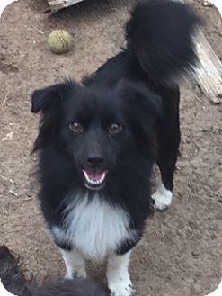 Border Collie/Corgi Mix Dog for adoption in McKinney, Texas - Leroy