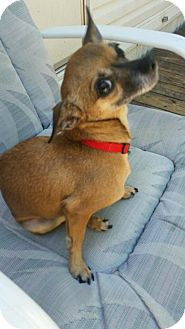 Chihuahua Dog for adoption in Glastonbury, Connecticut - Ruby       (AZ)