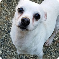 Chihuahua Mix Dog for adoption in Lompoc, California - BJ