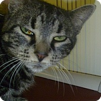 Domestic Shorthair Cat for adoption in Hamburg, New York - Penelope