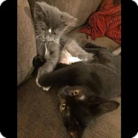 Adopt A Pet :: Grigio and Tahoe - Arlington, VA