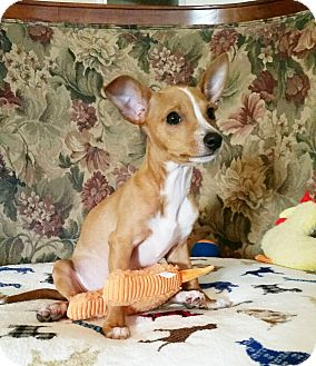 Chihuahua/Dachshund Mix Puppy for adoption in New Braunfels, Texas - Georgie