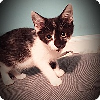 Domestic Shorthair Kitten for adoption in Mooresville, North Carolina - A..  Eloise