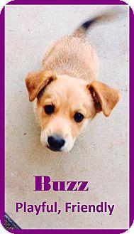 Corgi Mix Puppy for adoption in Lincoln, California - PUPPY - Buzz!!