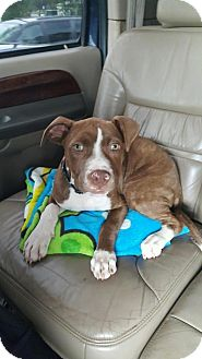 Terrier (Unknown Type, Medium)/Pit Bull Terrier Mix Puppy for adoption in Hayes, Virginia - Boomer