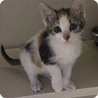 Adopt A Pet :: Caramel - Richland Hills, TX