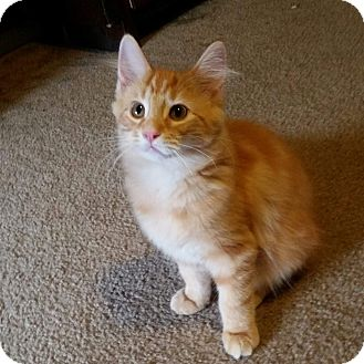 Domestic Longhair Kitten for adoption in Columbus, Ohio - Sunny