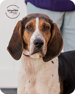 Treeing Walker Coonhound Mix Dog for adoption in Staten Island, New York - Brooklyn