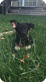 German Shepherd Dog Mix Puppy for adoption in Walnut Creek, California - Willow