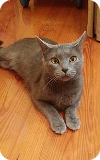 Russian Blue Cat for adoption in Warrenton, Missouri - Egypt